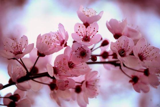 ciliegio-da-fiore_ng2